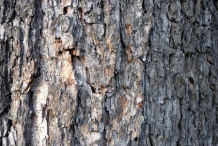 Bark-of-Black-Alder