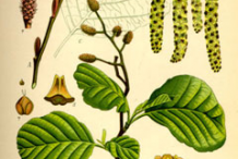 Black-Alder-Plant-Illustration