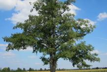 Black-Alder-Tree