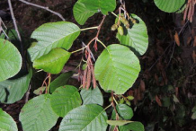 Leaves-of-Black-Alder