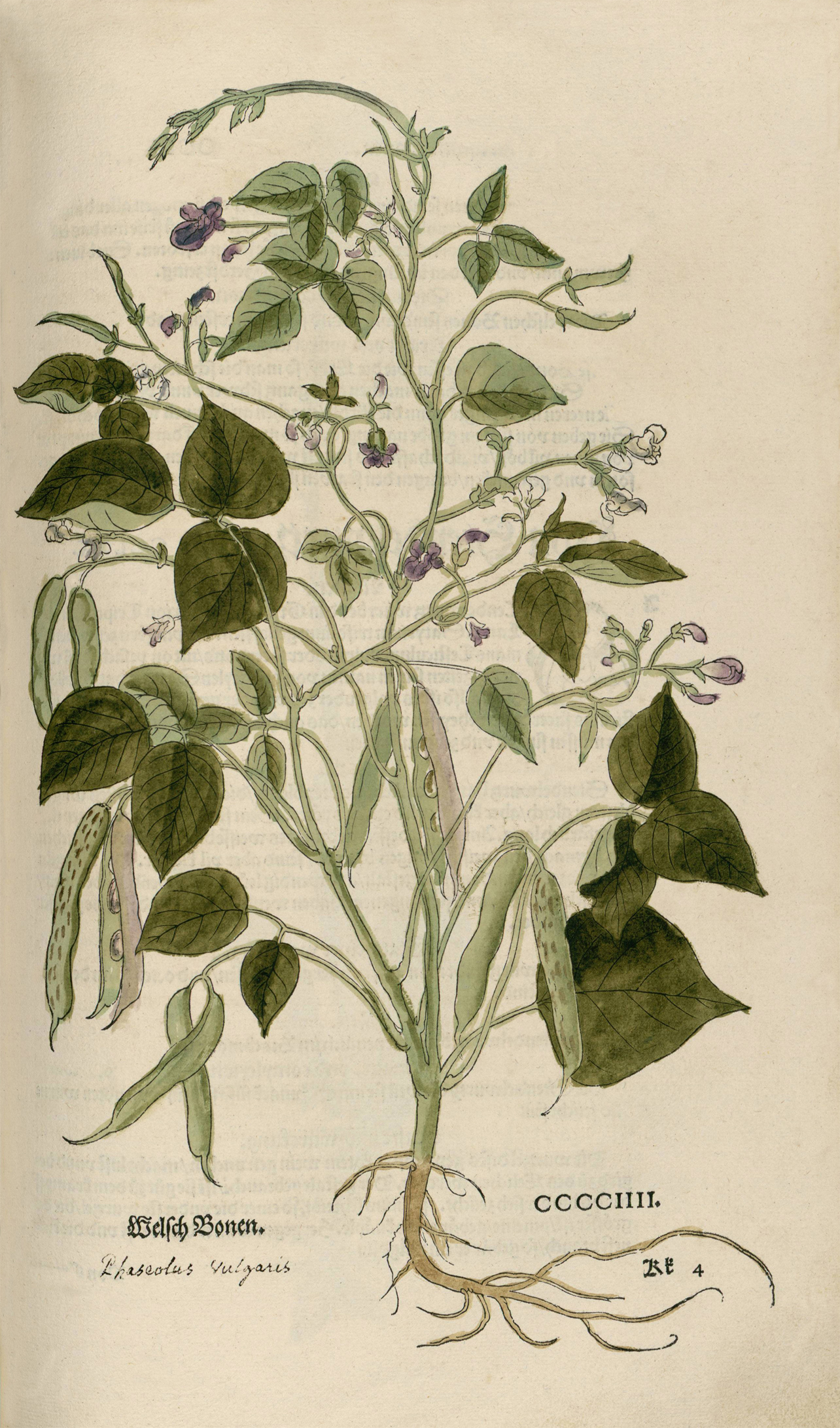 Illustration-of-Black-bean