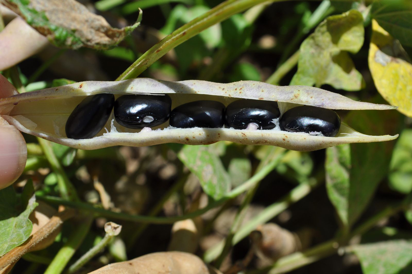Open-pod-of-Black-bean