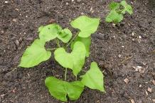 Black-bean-plant