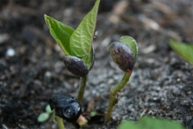 Black-bean-seedlings