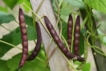 Pods-of-Black-bean