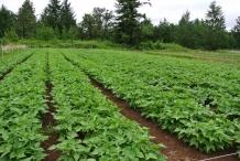 Black-bean-farm