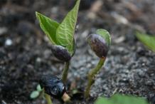 Black-bean-seedlings