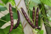Pods-of-Black-bean