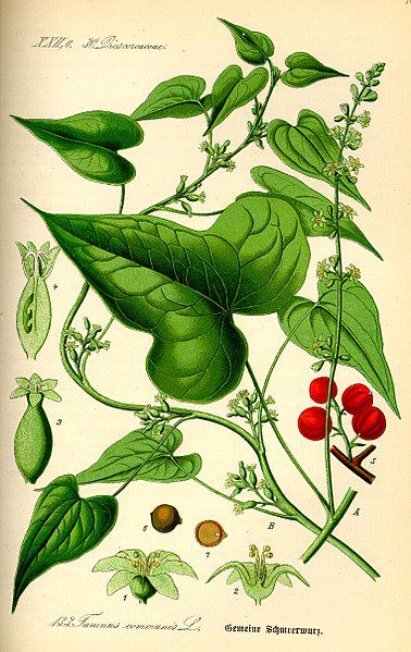 Black-Bryony-Plant-Illustrations