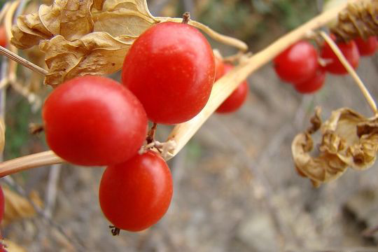 Close-up-view-of-Black-Bryony-fruit