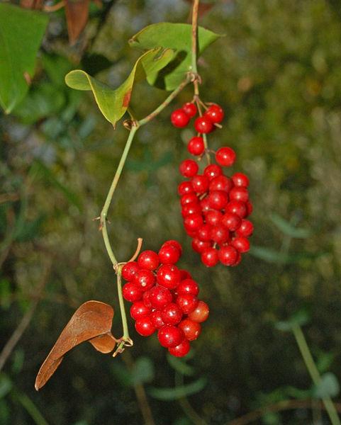 Fruit-of-Black-Bryony-plant