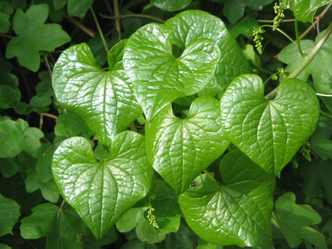 Leaves-of-Black-Bryony-plant