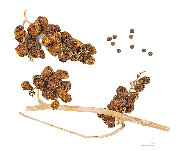 Seeds-and-fruits-of-Black-Bryony-plant