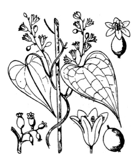 Sketch-of-Black-Bryony-plant
