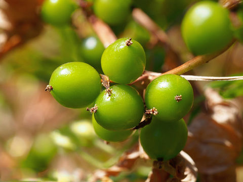 Unripe-Black-Bryony-fruit