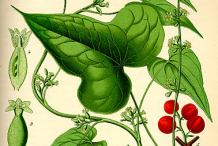 Black-Bryony-Plant-Illustrations