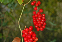 Fruit-of-Black-Bryony-plant
