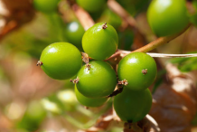 Unripe-Black-Bryony-fruit