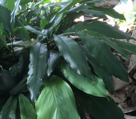 Leaves-of-Black-Cardamom