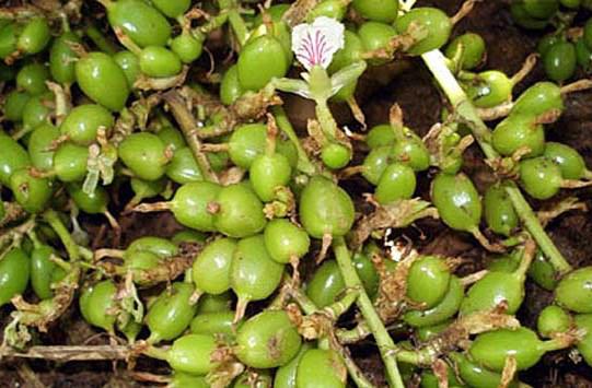 Unripe-Cardamom