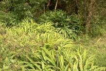 Black-Cardamom-Farming