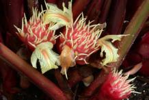 Flower-of-Black-Cardamom