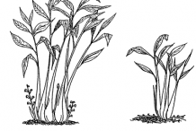 Sketch-of-Black-Cardamom-plant