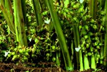 Unripe-Black-Cardamom-on-the-plant