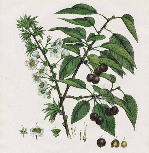 Black-cherry-plant-Illustration