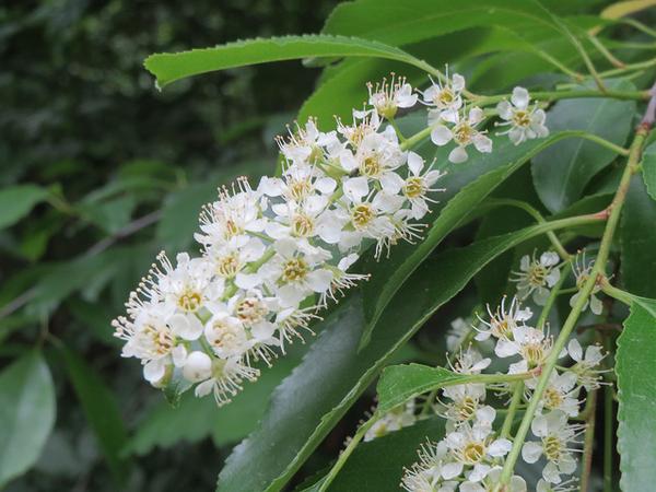 Flowers-of-Black-cherry