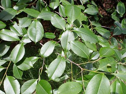 Leaves-of-Black-cherry