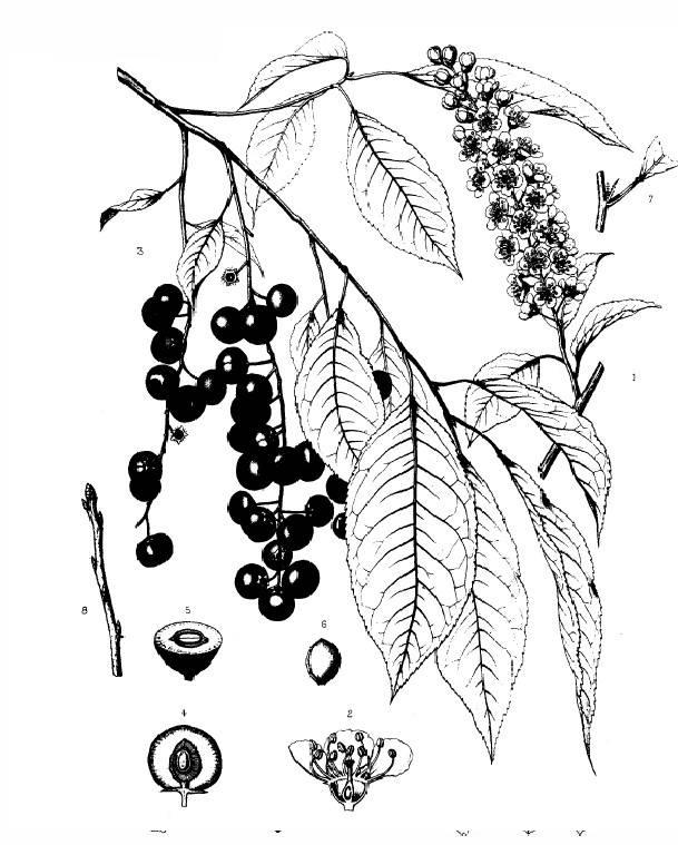 Sketch-of-black-Cherry