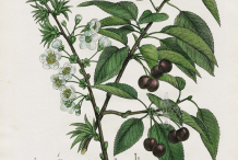 Black-cherry-plant-Illustration