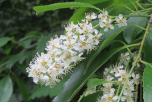 Flowers-of-Black-cherry