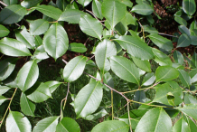 Leaves-of-Black-cherry