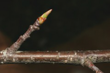 Winter-buds-of-Black-cherry-plant