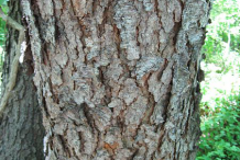 Bark-of-mature-tree