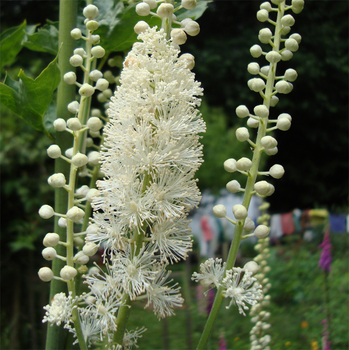 Black-cohosh-flower