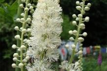 Black-cohosh-flower