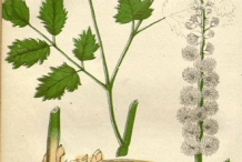 Black-cohosh-plant-illustration