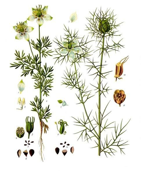 Illustration-of-Black-cumin-plant