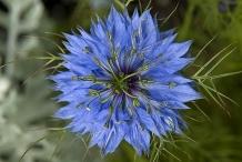 Black-cumin-close-up-flower