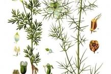Illustration-of-Black-cumin-plant