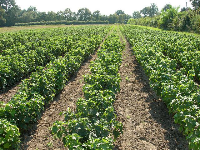 Black-currant-farm-Gadelier Noir