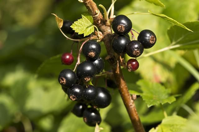 Black-currant-fruit-Groseille Noir