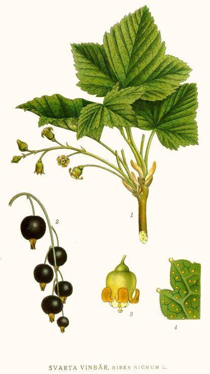 Black-currant-illustration-Ribes Nero