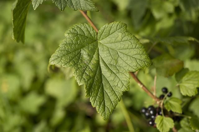 Black-currant-leaves-svart vinbär