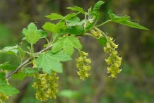 Black-currant-flower-Grosella Negra