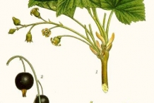 Black-currant-illustration-Ribes Nero