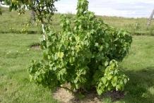 Black-currant-plant-gadellier noir